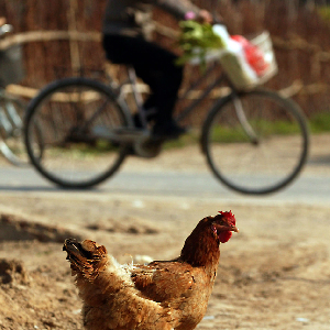 New Cases Of Bird Flu In Asia, Mideast Spark Concerns