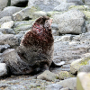 Scientist Think Sick Seals May Be                                 Radioactive